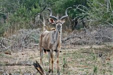 Free Angry Kudu Stock Photography - 8032572