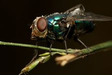 Free Green Color Fly Macro Royalty Free Stock Photo - 8033675