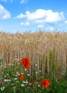 Free Poppies In The Field Royalty Free Stock Photos - 8033918