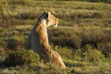 Free Strategic Lioness Royalty Free Stock Photo - 8033945