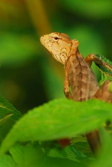 Free Lizard Royalty Free Stock Images - 8034089