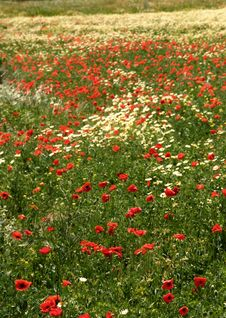 Free Poppy Field Royalty Free Stock Images - 8034299