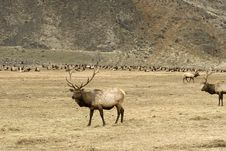Free Herd Of Elk Royalty Free Stock Photo - 8034355