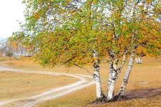 Free White Birch And Road Royalty Free Stock Photo - 8034805