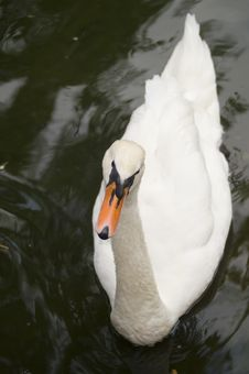 Free Swan. Royalty Free Stock Photos - 8034898