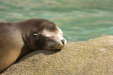 Free Seal Basking In Sun Royalty Free Stock Photo - 8035235