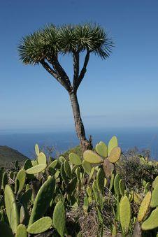 La Palma, Dragon Tree Royalty Free Stock Photos