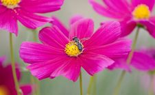 Free Pink Flowers And Bee Stock Images - 8036184