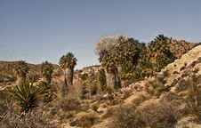 Free Desert Oasis With California Fan Palms Royalty Free Stock Images - 8037759