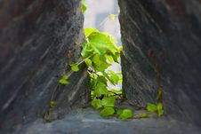 Ivy Sprout At The Loophole. Royalty Free Stock Images