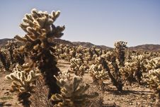 Free Cholla Cactus Garden Royalty Free Stock Photos - 8038158