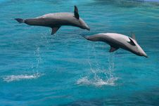 Free Bottlenose Dolphins Two Jumping Stock Photos - 8038953