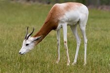 Free Grazing Gazelle Stock Images - 8039834