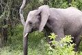 Free Young Elephant Stock Photos - 8043683