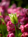 Free Tulip With Dewdrops Stock Image - 8045061