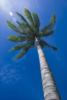Free Coconut Tree Royalty Free Stock Photography - 8040567