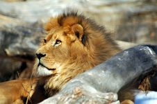 Free Lion Surveying His Kingdom 2 Royalty Free Stock Photos - 8040958
