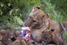 Free Lion Family Eating Their Prey Stock Image - 8041641