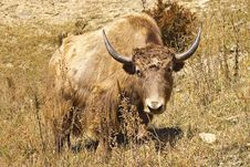 Free Yak On The Pasture Royalty Free Stock Images - 8042239