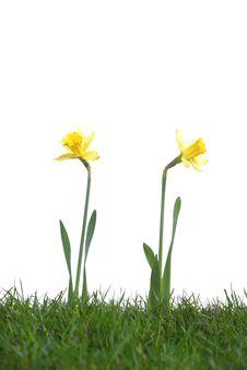 Free Daffodils In The Studio Stock Photo - 8042850