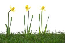 Free Daffodils In The Studio Stock Photography - 8042932