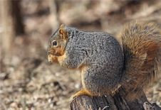 Free Squirrel Eating Royalty Free Stock Photo - 8043175