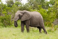 Free Elephant In Kruger Park Royalty Free Stock Photos - 8043648