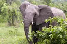 Free Elephant In Kruger Park Royalty Free Stock Photography - 8043657