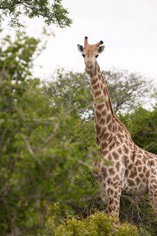 Free Giraffe Royalty Free Stock Photo - 8043685