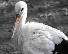 Free Stork Royalty Free Stock Images - 8044509