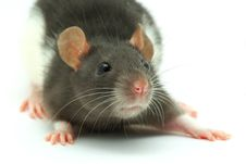 Free Rat Royalty Free Stock Photo - 8044645