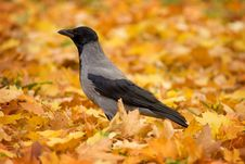 Free Crow On Fallen Leaves Stock Photography - 8044752