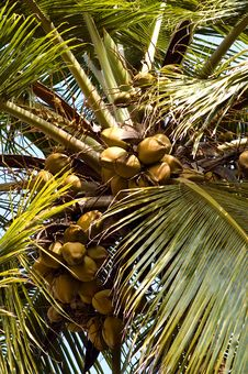 Looking Up On Coconut Palm Stock Photography