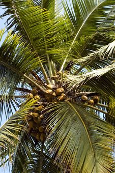 Free Looking Up On Coconut Palm Stock Photos - 8045263
