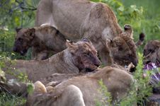 Lion Family Royalty Free Stock Photo