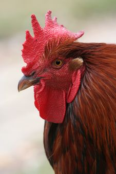 Free Chicken Rooster Royalty Free Stock Photography - 8047587