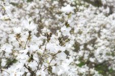 Free Magnolia Flowers Stock Images - 8048214