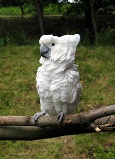 Free Cockatoo Stock Photography - 8048422