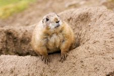 Free Prairie  Dog Stock Photo - 8048460
