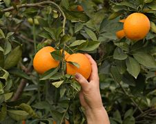 Free Branch With Ripe Oranges Royalty Free Stock Photography - 8048807