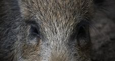 Free Boar S Eyes Stock Images - 8049264