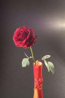Free Single Red Rose Stock Image - 8049611