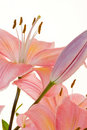 Free Pink Lilly Royalty Free Stock Photos - 8055328