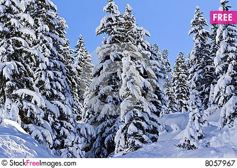 Snow covered pine trees free stock images photos - Images of pine trees in snow ...