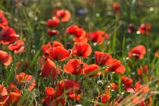 Free Red-poppies Royalty Free Stock Photography - 8050827
