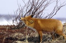 Free Red Fox Stock Photography - 8052222
