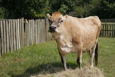 Free Cow In A Field Stock Images - 8052724