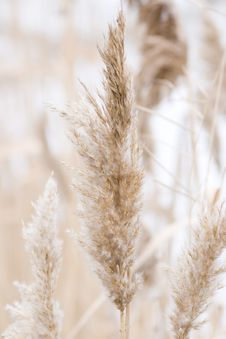 Free Close-up Shot Of Reed Stock Photography - 8054502
