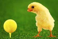 Free Amusing Chicken Gor Stock Photo - 8056160