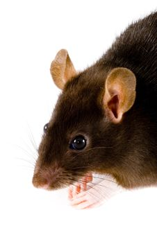 Free Brown Rat Royalty Free Stock Photography - 8056497